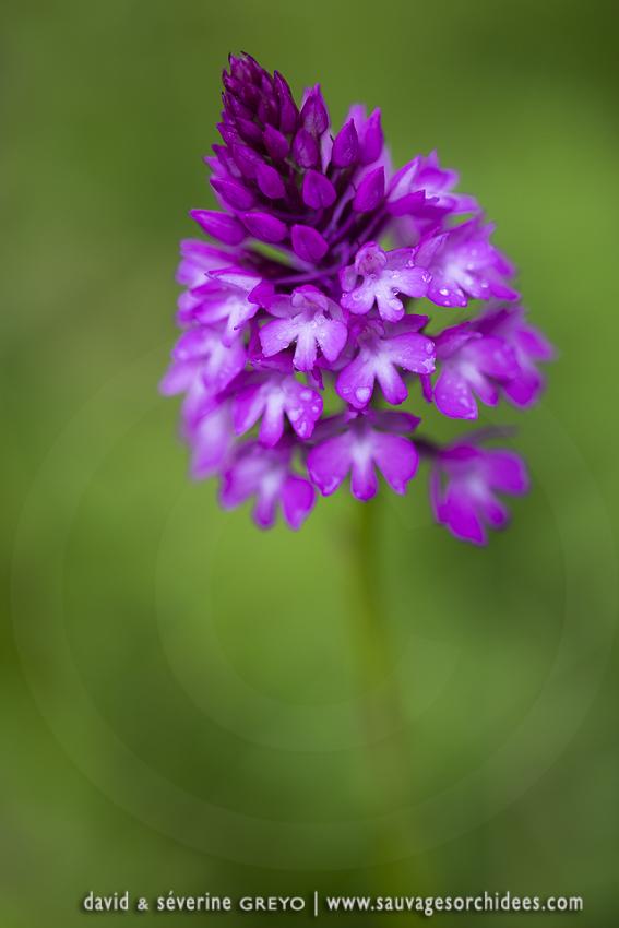 Orchis pyramidal ; Pyramidal orchid
