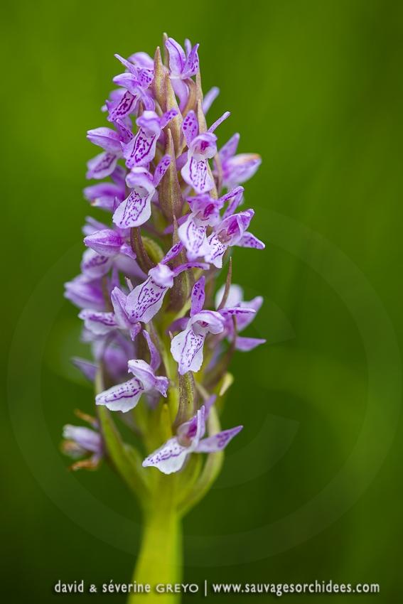 Orchis incarnat - Dactylorhiza incarnata