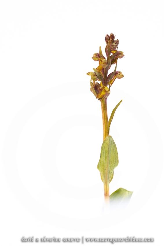 Orchis grenouille - Coeloglossum viride