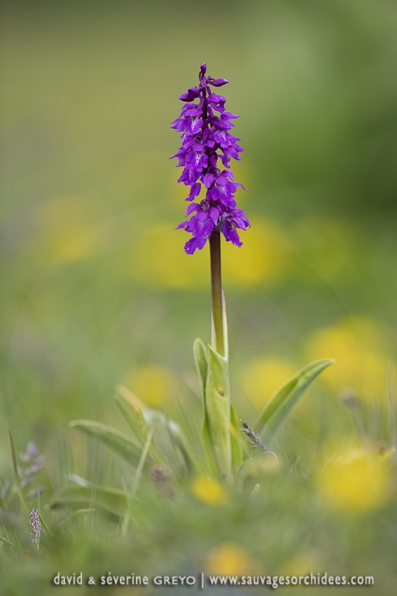 Orchis mâle - Orchis mascula (Androrchis)