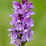 Orchis tâcheté - heath spotted-orchid