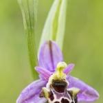 Ophrys pseudoscolopax