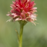 Gymnadenia rhellicani