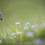 Ophrys drumana