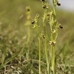 Ophrys araneola