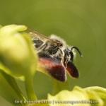 Andrena sp. et Ophrys sulcata