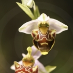 Ophrys corbariensis
