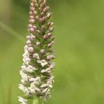 Gymnadenia pyrenaica