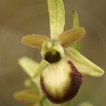 Ophrys exaltata ssp. marzuela