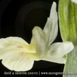 Dactylorhiza insularis