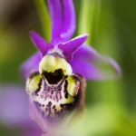 Ophrys druentica