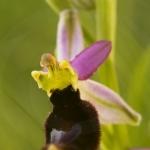 Ophrys aurelia