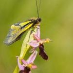 Ophrys drumana et Libelloides coccajus