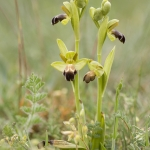 Ophrys vasconica