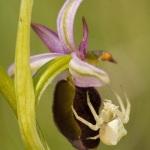 Misumena vatia et Ophrys drumana