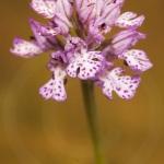 Neotinea tridentata (syn. Orchis)