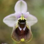 Ophrys aprilia