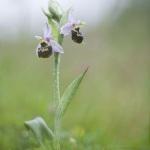 Ophrys pseudosocolopax