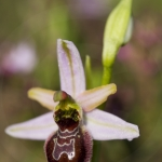 Ophrys splendida