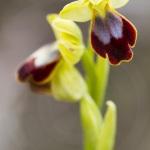 ophrys bilinulata