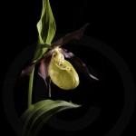 Sabot de Vénus sur fond noir - Cypripedium calceolus
