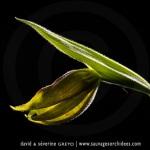 Sabot de Vénus en bouton - Cypripedium calceolus
