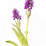 Orchis des Alpes - Dactylorhiza alpestris