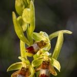 Ophrys aymoninii