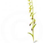 Epipactis à feuilles pendantes