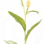 Céphalanthère de Damas, Céphalanthère pâle - Cephalanthera damasonium