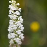 Orchis moustique albinos, Gymnadénie - Gymnadenia conopsea