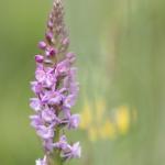 Orchis très odorant (Gymnadénie) - Gymnadenia odoratissima
