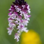 Orchis brûlé - Neotinea ustulata