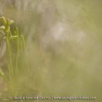 Orchis nain des Alpes  - Chamorchis alpina