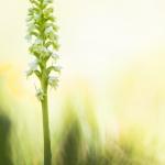 Orchis miel - Pseudorchis albida