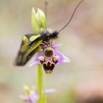 Ascalaphe soufré sur un Ophrys bécasse