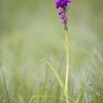 Orchis de Traunsteiner