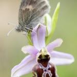 Papillon sur un Ophrys de l'Aveyron