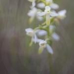 Orchis verdâtre