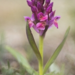 Orchis sureau ;  Elder-flowered Orchid