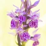Orchis de Savoie (Dactylorhize) - Dactylorhiza savoyensis (Dactylorhiza maculata)