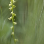 Herminie des Alpes ; Musk orchid