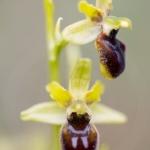 Ophrys petite-araignée