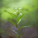 Céphalanthère à longues feuilles - Cephalanthera longifolia