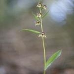Epipactis à feuilles écartées - Epipactis distans (Epipactis helleborine)