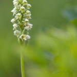 Orchis miel ; Small white orchid