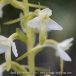 Platanthère à deux feuilles - Platanthera bibolia