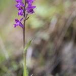 Orchis de Laponie (Dactylorhize) - Dactylorhiza lapponica