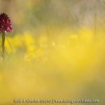Orchis vanille (Nigritelle vanille) - Gymnadenia rhellicani)