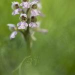 Orchis lacté